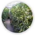 トマトの湿気
