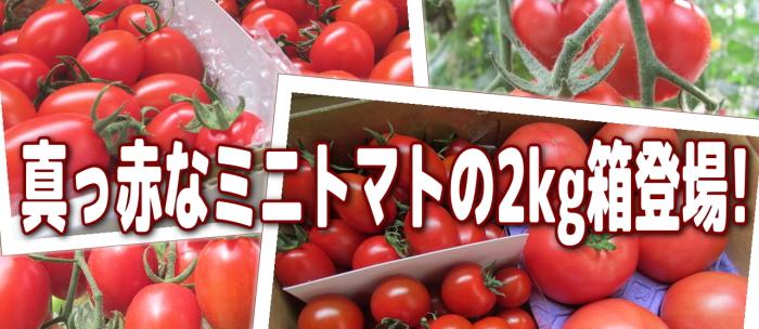 真っ赤なミニトマトの2kg箱登場